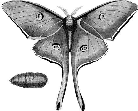 luna moth clipart