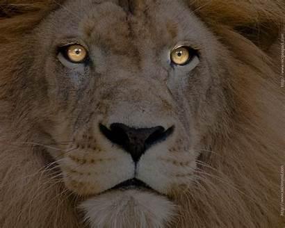Wallpapers Lions Lion Desktop Male Computer Gorgeous