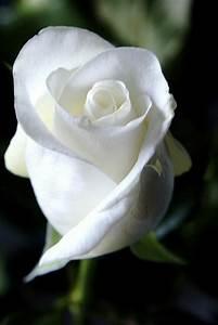 Fleur Rose Et Blanche : la signification des roses quelle couleur de roses offrir ~ Dallasstarsshop.com Idées de Décoration