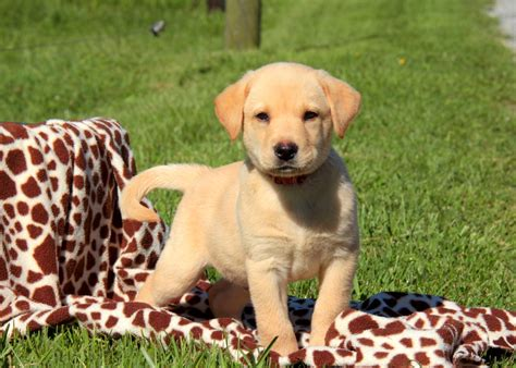 yellow lab puppies  sale  pa