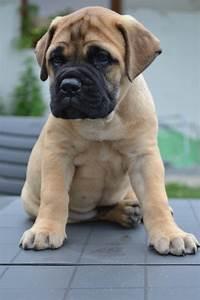 Bull Mastiff Puppies, Puppies Photos, Dog Photos, Dog Breeds