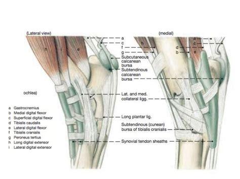 tarsal anatomy   horse