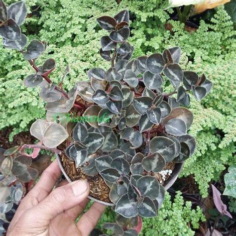 jual tanaman hias daun mangkok hp
