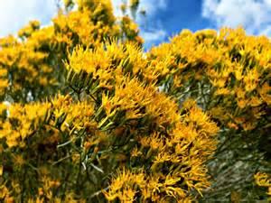 Nevada State Flower Sagebrush