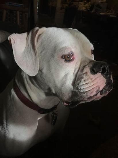 Blanco Senor Bulldog American Dog Rescue Dogs