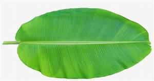 Leaf Musa Basjoo Xd - Banana Leaf Clipart Png