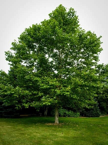 american sycamore for sale the tree center