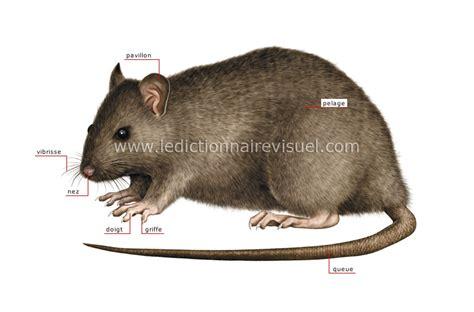 queue de rat cuisine règne gt mammifères rongeurs et lagomorphes