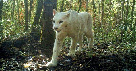 rare white cougar captured  camera revista pesquisa fapesp