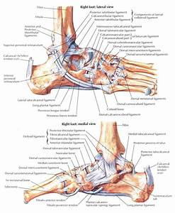 Ankle Anatomy Ligaments And Tendons