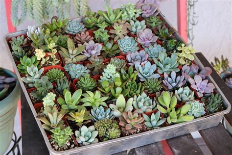 2 Assorted Succulents Succulents For Sale Bulk