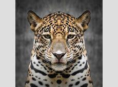 Jaguar face close up stock image Image of safari, mammal