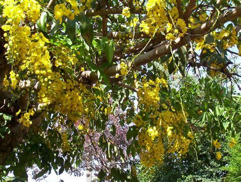 Acácias - Jardim e Dicas de Cultivo | Flores - Cultura Mix