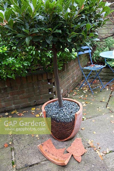 gap gardens pot bound bay tree breaking out of pot