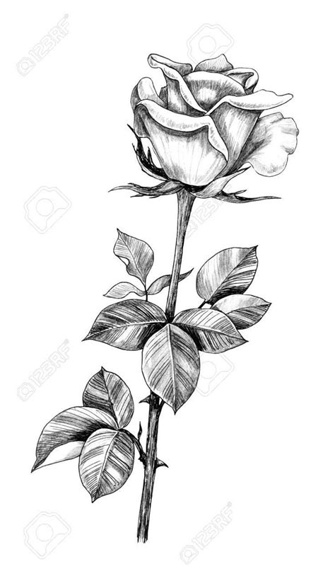 Good Cost-Free rose drawing with stem Popular Within this