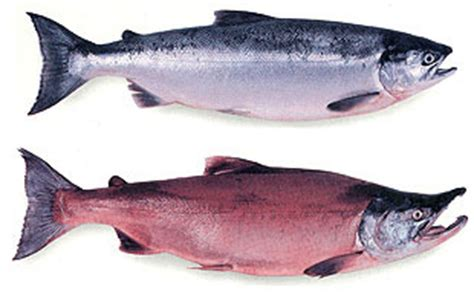 commercial salmon fisheries alaska department  fish