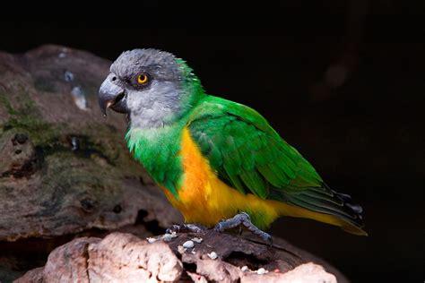 senegal parrot senegal parrot poicephalus senegalus exotic birds pets