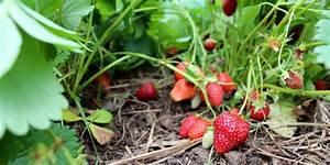 Plant De Fraise : fraisier planter cultiver et r colter ~ Premium-room.com Idées de Décoration