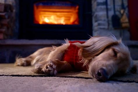 dogs for fireplaces adorable dogs warming themselves by the pictures