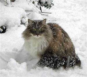 Winter Norwegian Forest Cat photo and wallpaper Beautiful Winter Norwegian Forest Cat pictures