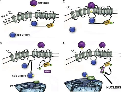 Biochemistry: How is vitamin A transported into the cell