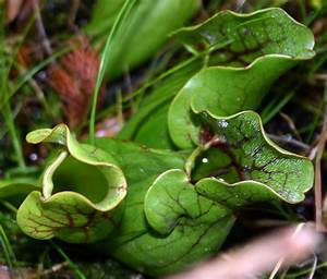 Medicinal Plants-Pitcher Plant