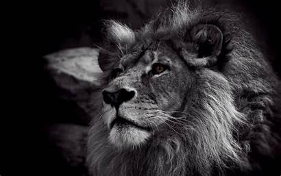 Lion 4k Desktop Wallpapers