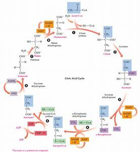 Solved  Refer To The Diagram Of The Citric Acid Cycle To A