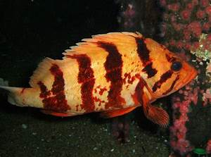 Tiger rockfish - Wikipedia