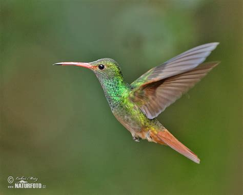 rufous tailed hummingbird pictures rufous tailed
