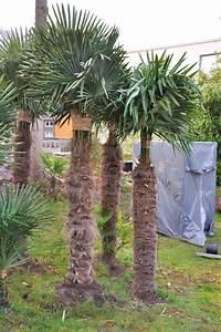 Palmen Für Drinnen : winterschutz f r palmen blog der palmenmann ~ Michelbontemps.com Haus und Dekorationen