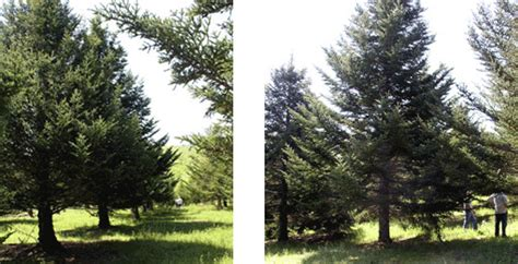 fraser fir seed orchard preserving americas indigenous