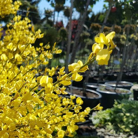 forsythia plant planting shrubs shrub yellow well containers around water