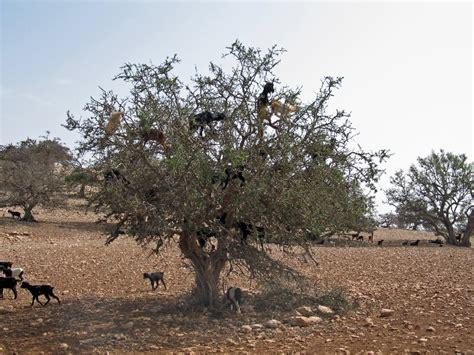 olio di argan uso alimentare olio di argan