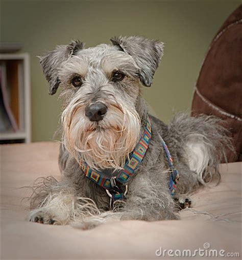 cozy small grey dog stock photo image