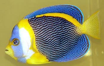 scribbled angelfish saltwater fish profile reef builders