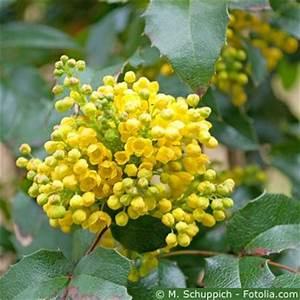 Pflanze Mit Fleischigen Blättern : mahonien pflege pflanzen d ngen schnitt ~ Buech-reservation.com Haus und Dekorationen