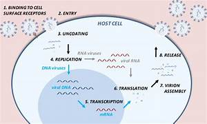 Schematic Representation Of The Viral Life Cycle  The Virus Recognizes