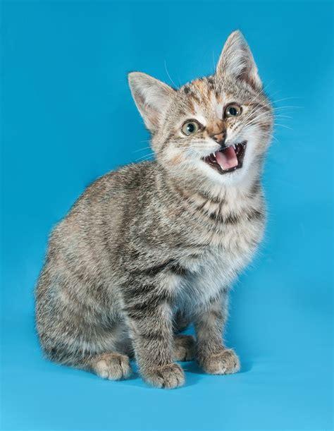 why do cats meow why do cats meow greengato com