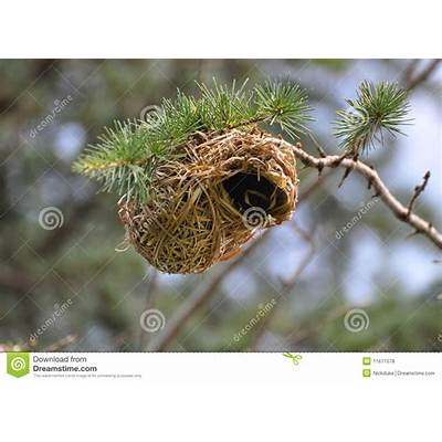Nest Of A Weaver Bird. South Africa. Stock Photo - Image