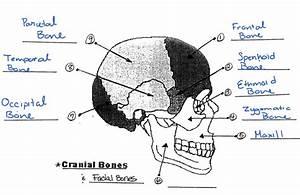 Cranial  Facial  And Long Bones Diagram