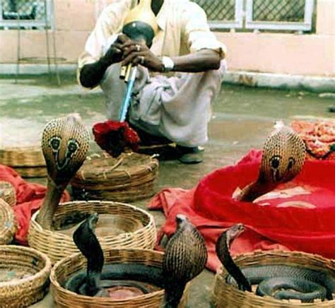 bureau impots inde mécontent il lâche des dizaines de serpents dans un