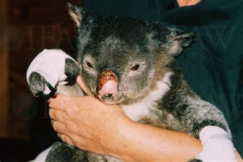 appeal  mittens   koalas burned  bushfires