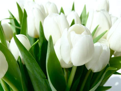 white flowers white tulip flowers hd wallpapers