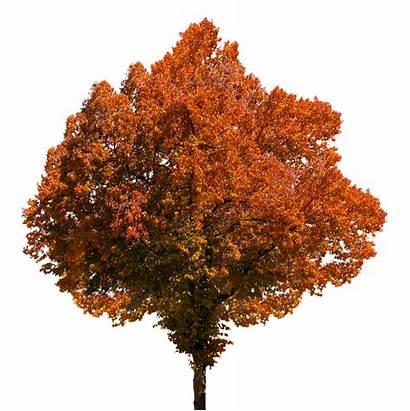 Tree Autumn Fall Leaves Foliage Trees Oranges