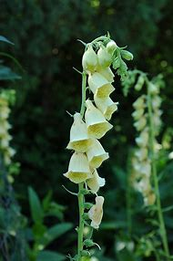 Best bell shaped flowers ideas and images on bing find what you yellow bell shaped flowers mightylinksfo