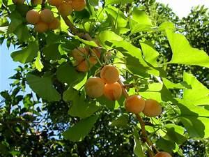 Ginkgo Samen Kaufen : file unreife ginkgo samen an wikimedia commons ~ Lizthompson.info Haus und Dekorationen