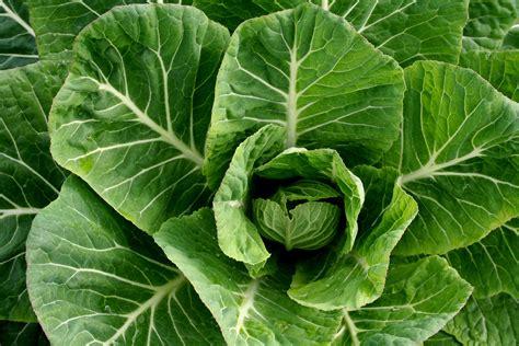 cooking greens raw vegan collard greens recipe with ginger recipe