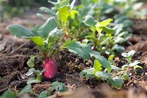 Culture Des Radis : la culture du radis semis entretien et r colte jardiner fut ~ Melissatoandfro.com Idées de Décoration
