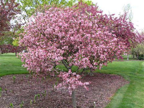 pictures of crabapple trees trees of santa cruz county malus crabapple